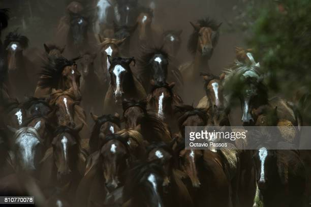 Wild horses run through the hills of Sabucedo during the 'Rapa Das Bestas' a traditional event in the Spanish northwestern village of Sabucedo around...