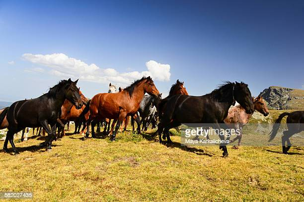 Wild horses running in a mountain