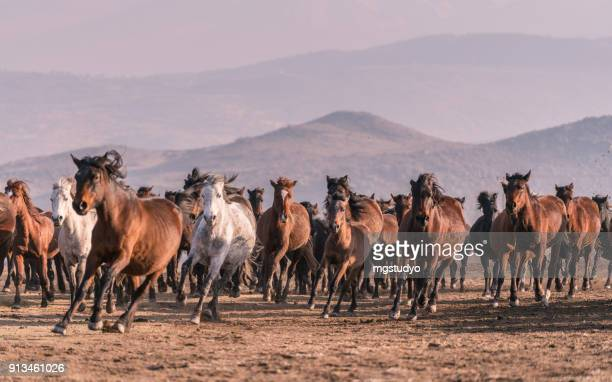 Wild Horses running in mountain