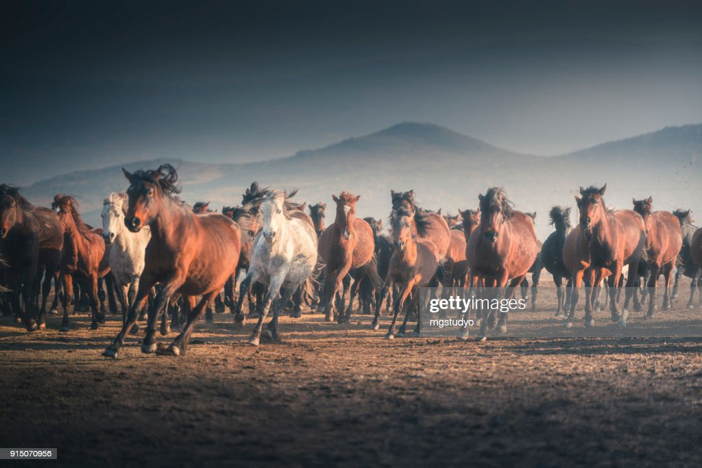 Wild Horses Running In Mountain High Res Stock Photo Getty Images