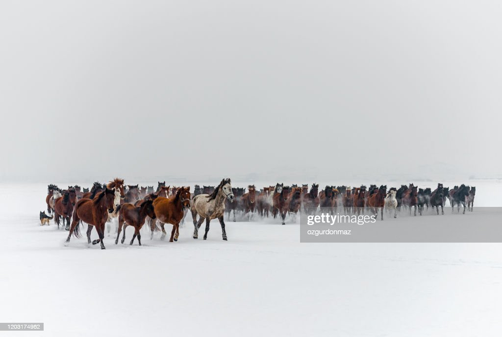 Wild Horses Running In Snow High Res Stock Photo Getty Images