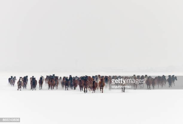 Wild horses running in snow