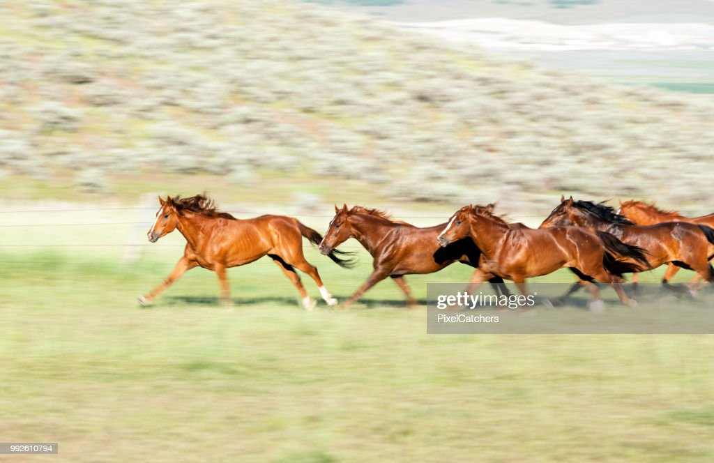 Wild Horses Running In The Evening Light Leader Of The Herd High Res Stock Photo Getty Images