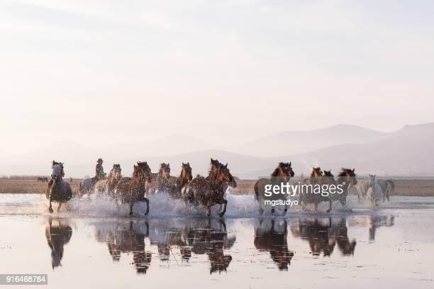 Chevaux sauvages en cours d'exécution dans l'eau