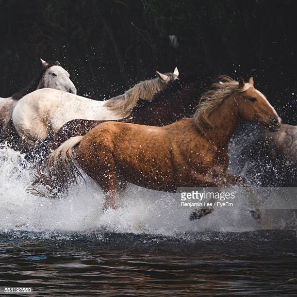 Wild Horses Running On Stream