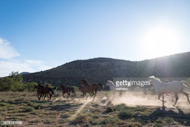 wild horses running - the karoo stock pictures, royalty-free photos & images