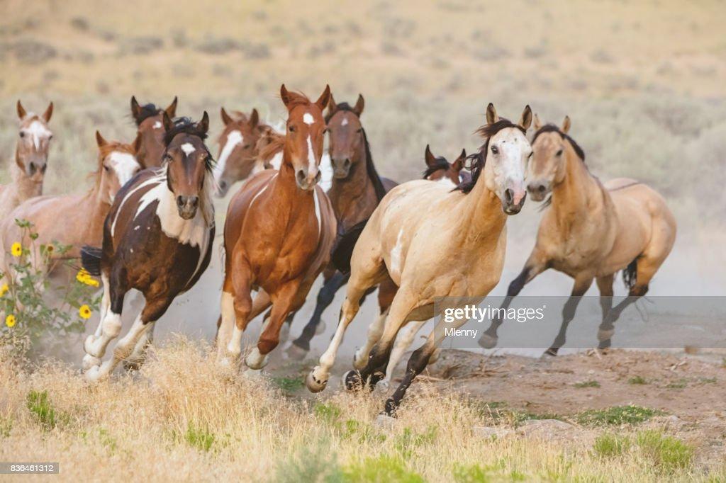 Wild Horses Running Utah Usa Stock Photo