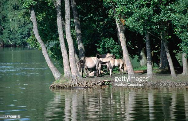 """Wild horses, """"tarpans"""", at Lake Sniardwy, one of the lakes forming The Great Masurian Lake District (Kraina Wielkich Jezior Mazurskich)."""