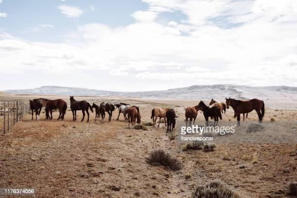 chevaux sauvages marchant dans la patagonie - argentine photos et images de collection