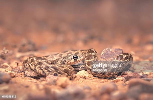 wild horseshoe whipsnake (hemorrhois hippocrepis) portrait at night in morocco - hemorrhoid stock photos and pictures