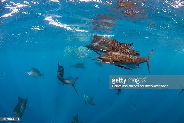 wild hunt of atlantic sailfish in isla mujeres - mujeres fotos stockfoto's en -beelden