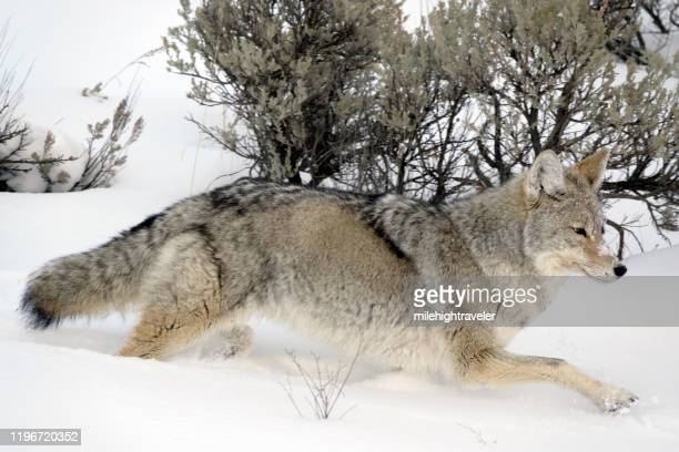 wild hunting coyote snowy lamar valley winter yellowstone national park wyoming - milehightraveler stock pictures, royalty-free photos & images