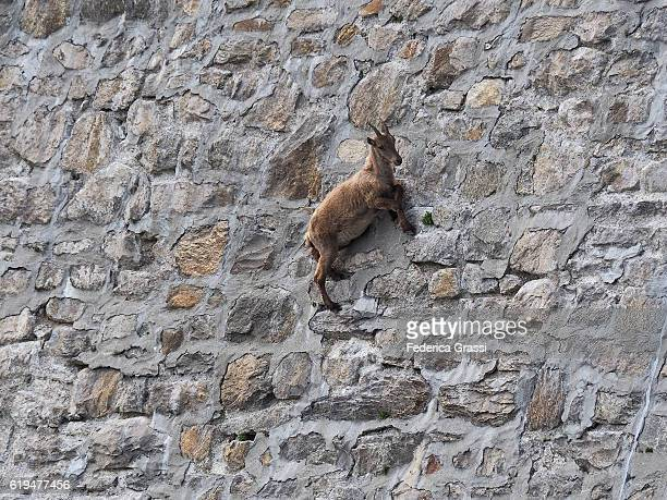 wild ibex goat climbing on steet dam wall to lick the saltpetre off the stones - ibex ストックフォトと画像