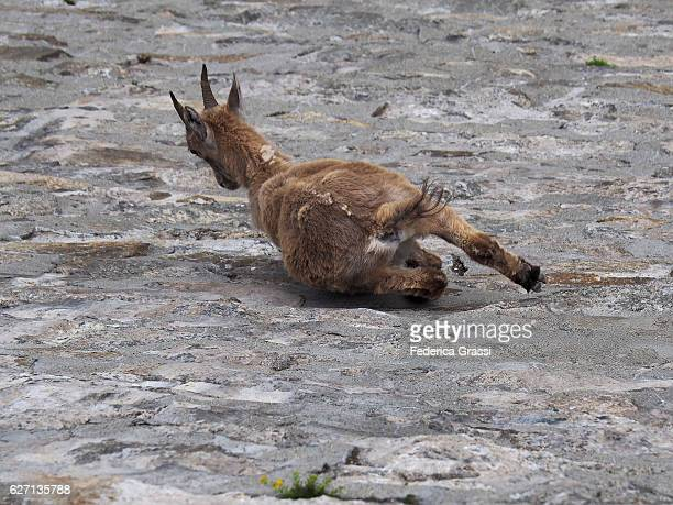 Wild Ibex Goat On Steep Dam Wall In Formazza Valley, Northern Italy