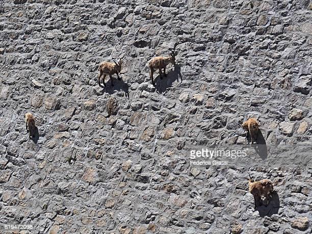 Wild Ibex Goats Climbing On Cingino Dam Defying Gravity