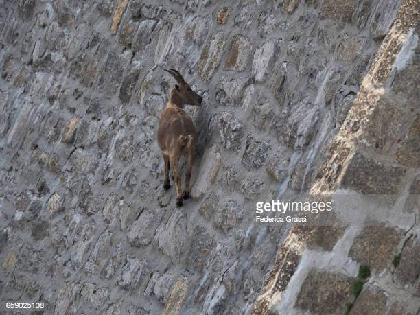 Wild Ibex Goats Climbing On Steet Dam Wall To Lick The Saltpetre Off The Stones