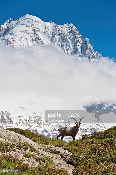 Wild ibex on mountain under snowy peaks Alps