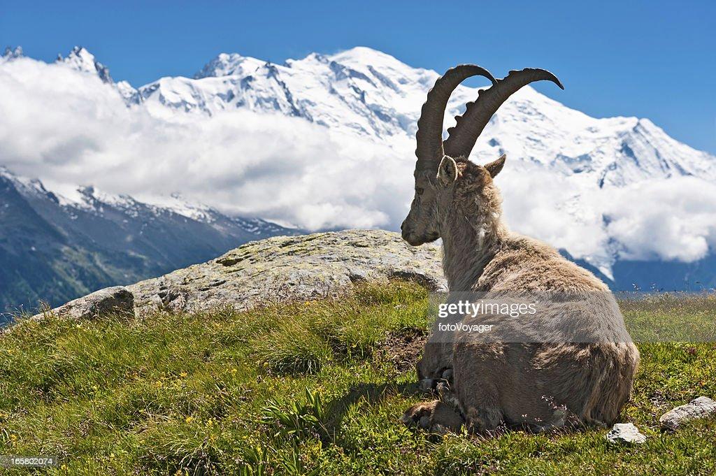 Wild Ibex overlooked by Mont Blanc summit Chamonix France : Stock Photo