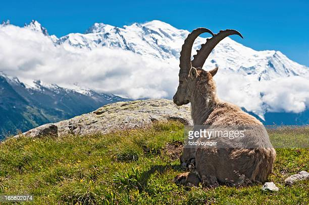 Wild Ibex overlooked by Mont Blanc summit Chamonix France