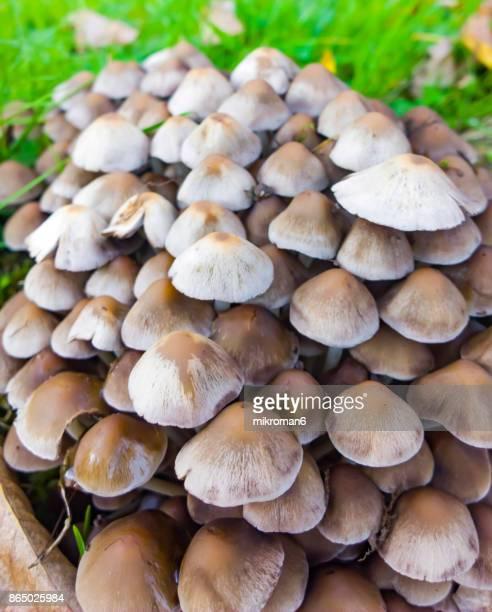 wild irish mushrooms, clustered brittlestem- psathyrella multipedata - magic mushroom stock photos and pictures