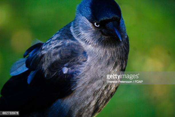 A wild jackdaw bird