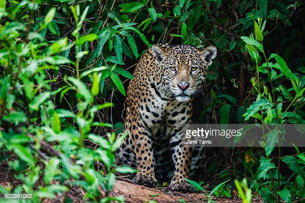 a wild jaguar hunting in the pantanal appears out of thick vegetation - pantanal wetlands stock pictures, royalty-free photos & images