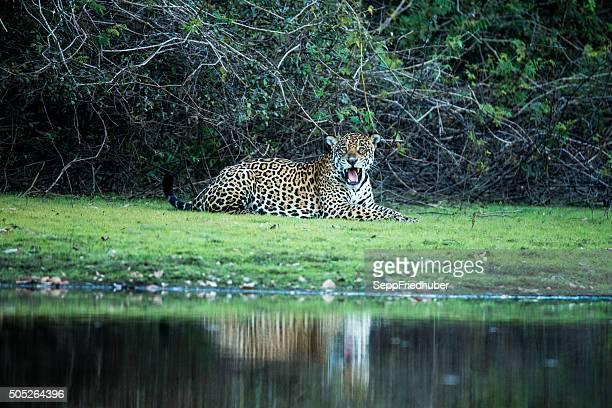 wild jaguar in pantanal brazil - pantanal wetlands stock pictures, royalty-free photos & images