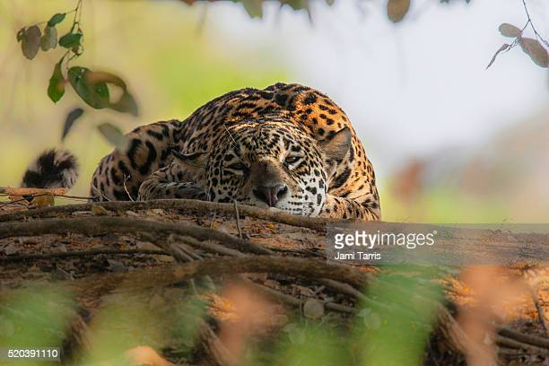 a wild jaguar in the pantanal, eye contact - pantanal wetlands stock pictures, royalty-free photos & images