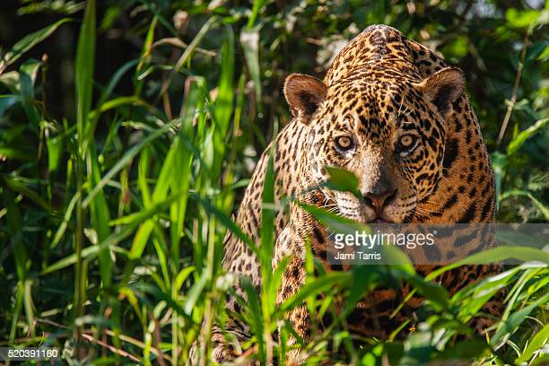 a wild jaguar in the pantanal is watchful while laying in thick vegetation along the river bank of t - jaguar stock photos and pictures