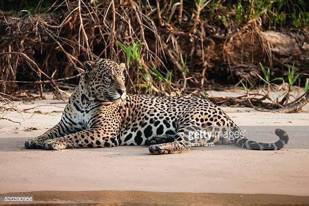 a wild jaguar in the pantanal laying on a sand beach along a river - marais de pantanal photos et images de collection