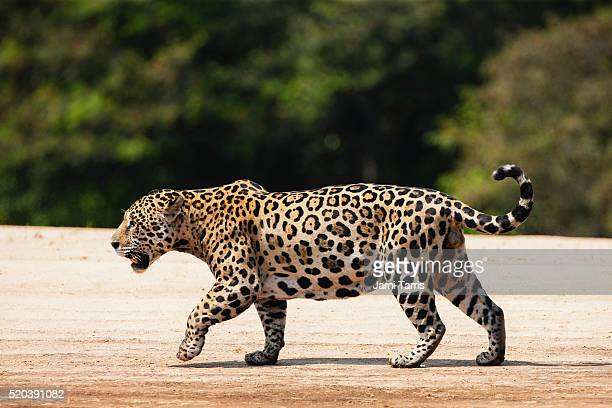 A wild jaguar in the Pantanal walking on a river bank,