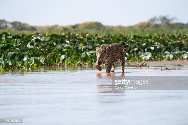 wild jaguar in water - pantanal wetlands stock pictures, royalty-free photos & images