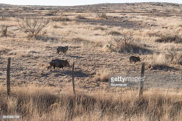 Wild javelinas or peccaries scurry across a field in rural Presidio County Texas south of Marfa