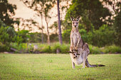 Wild kangaroo and her joey staring right at me