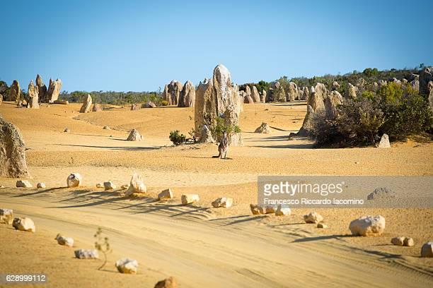 wild kangaroo at the pinnacles desert, western australia - francesco riccardo iacomino australia foto e immagini stock