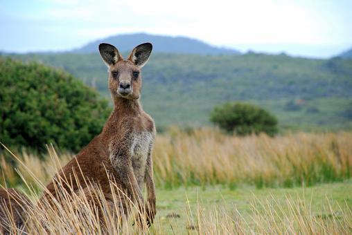 Wild kangaroo in outback 93430143