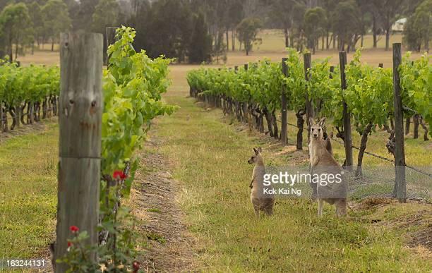 Wild kangaroos among a vineyard at Pokolbin in the Hunter Valley region, New South Wales, Australia.