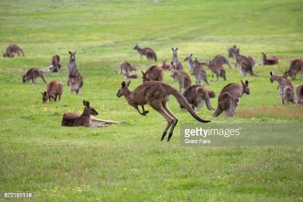 wild kangaroos in green field. - marsupial imagens e fotografias de stock