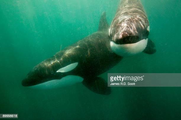 Wild Killer Whales (Orcas)
