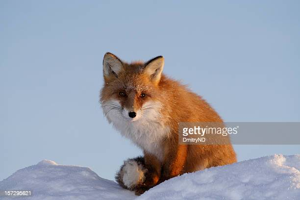 wild kind fox. - red fox stock photos and pictures