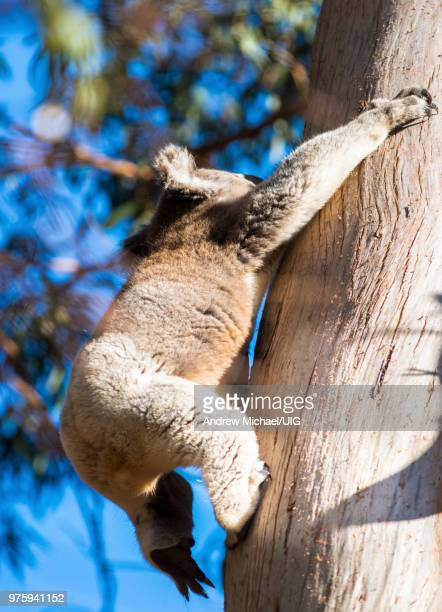 wild koala climbing a tree on kangaroo island, south australia. - big arse stock pictures, royalty-free photos & images