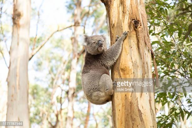 wild koala in a eucalyptus tree, australia - kangaroo island stock pictures, royalty-free photos & images