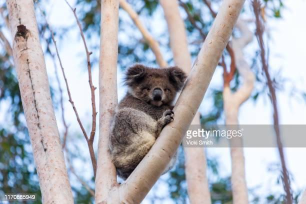 wild koala in a tree australia - koala stock-fotos und bilder