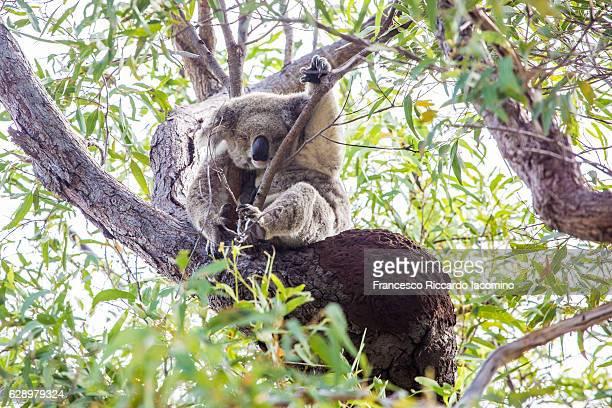 wild koala, magnetic island, australia - francesco riccardo iacomino australia foto e immagini stock