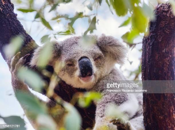 wild koala on a tree in magnetic island, australia - francesco riccardo iacomino australia foto e immagini stock