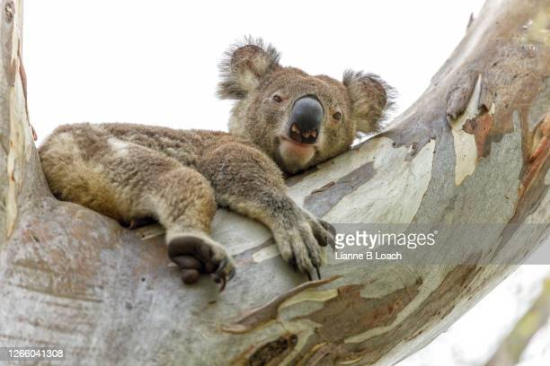 wild koala on large tree branch, looking at camera. - lianne loach stock pictures, royalty-free photos & images