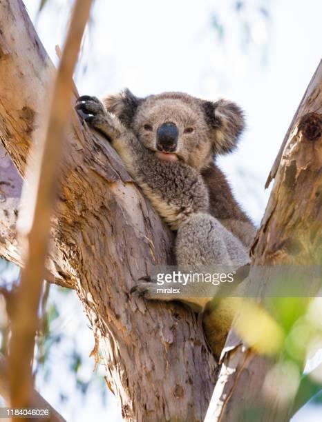 wild koala resting on eucalyptus tree - marsupial imagens e fotografias de stock