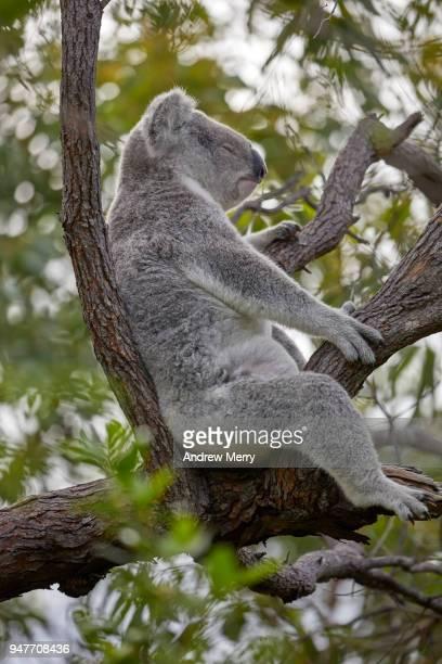 wild koala sleeping in eucalyptus tree, magnetic island - nature magazine stock pictures, royalty-free photos & images