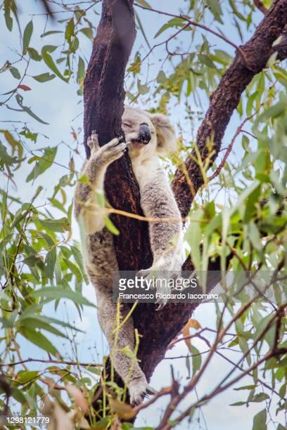 wild koala sleeping on a tree in magnetic island, australia - francesco riccardo iacomino australia foto e immagini stock