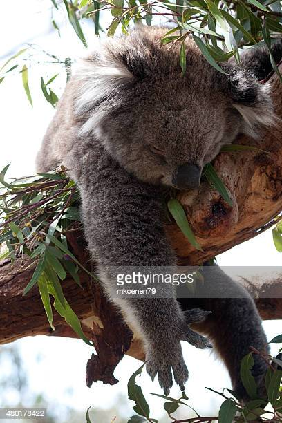 Wild Koala sitting on a tree - Stock Image